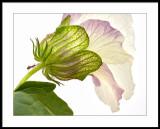 Annie's garden hibiscus