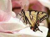 First Butt of the Season ( Tiger Swallowtail )
