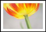 Flames licking up the tulip petals....