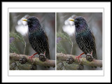 Starling comparison.jpg