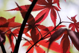 Japanese Maple Leafing Out