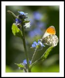 Orange Tip butterfly...