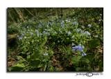 Mertensia virginicaVirginia Bluebell