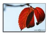 Viburnum plicatum tomentosumNovember 6