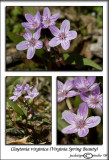 Claytonia virginica(Spring Beauty)March 26