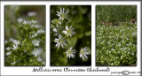 Stellaria corei(Tennessee Chickweed)April 7