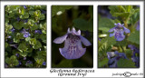 Glechoma hederacea(Ground Ivy)