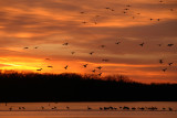 Geese Landing at Sunset  (Pony Express Lake)