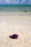 Sea Urchin, Mauritius