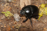 Woodland Dor Beetle