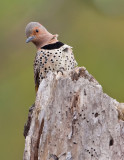 Pic flamboyant / Northern Flicker