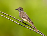 Tyran hupp� / Great Crested Flycatcher