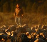 Shepherd in Dust
