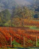 Misty Morning Vineyard