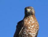 Petite Buse, Broad-winged Hawk