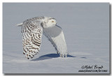 Harfang des neiges - Snowy Owl