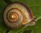 Snail With Racing Stripe