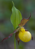 Yellow Lady's Slipper II