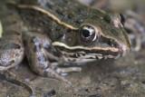 Northern Leopard Frog II