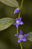 Tall Bellflower II