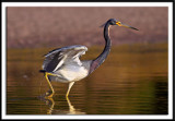Tri-Colored Heron On The Move