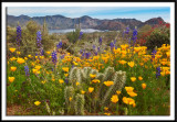 Sonoran Desert Bloom