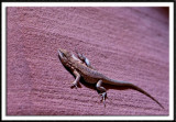 Lizard at Upper Antelope