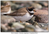 Pluvier semipalmé / Semipalmated Plover