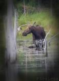 Orignal / Moose