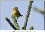 Paruline à gorge noire /Black-throated Green Warbler