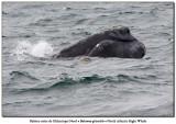 Baleine noire de l'Atlantique NordNorth-Atlantic Right Whale