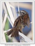Bruant des maraisSwamp Sparrow