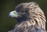 Aigle royalGolden Eagle