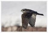 Chouette épervièreNorthern Hawk Owl