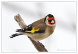 Chardonneret élégantEuropean Goldfinch