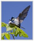 Hirondelles bicoloresTree Swallows