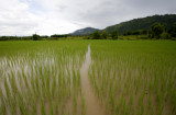 Rice Paddy, Xieng Kouang Prov. Laos