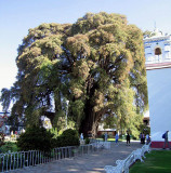Tule tree, more than 2000 years old