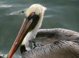 Pelican #3.jpg