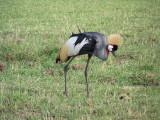 Grey crowned crane-3233
