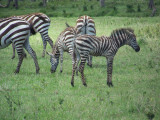 Young zebra are furry-3866