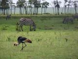 Grey crowned crane and zebra-3867
