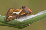 Moths / Nachtvlinders