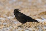 corvus_corone