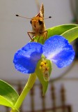 Asiatic Dayflower hosts a Folded-Winged Skipper