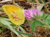 Sulphur Butterfly Checks Out a Red Clover