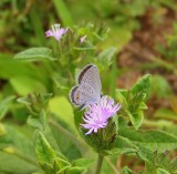 Eastern Tailed Blue Butterfly on Wild Mint