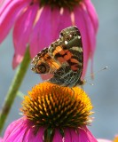 Painted Lady Butterfly on Cone Flower