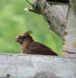 Juvenile Cardinal Holds a Seed