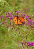 Monarch Butterfly on Tall Ironweed